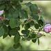 21 aprile 753 a.C., al Roseto Comunale una rosa per festeggiare la nascita di Roma