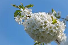 Blütenzauber 2018/5 (Andrelo2014) Tags: cherry blossoms kirschblüte kirschen franken sony sigma macro flower sigma105mmf28exmakro sigma105mm sonyalpha77ii a77ii