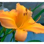 Day Lily thumbnail