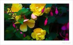 Begonias with fuchsias (Mr Joel's Photography) Tags: begonias fuchsias paintingcreation photoshopelements topazstudio topazimpressions2 topazsoftware digitalartpainting photoart