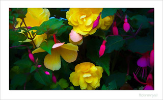 Begonias with fuchsias