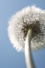 undedelion (clairescosmos) Tags: nikon d5200 macro nature life wildlife wildflower weed bokeh dof dandelion seeds wicklow