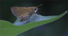 The Skipper (ioensis) Tags: skipper butterfly hesperiidae july 2018 jdl ioensis 52050001807141b©johnlangholz2018 webstergroves missouri mo macro insect