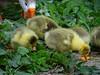 Donsballetjes (Odddutch) Tags: gans goose spring lente delft strausspad anatidae ganzerik gander