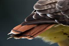 _M4_8422.jpg (rdelonga) Tags: buteojamaicensis redtailedhawk