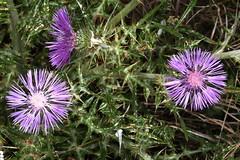 Galactites tomentosa (ou tomentosus) le galactite cotonneux ou chardon laiteux. (chug14) Tags: plantae plante flower fleur asteraceae composées galactitestomentosus galactitestomentosa unlimitedphotos galactitecotonneux chardonlaiteux