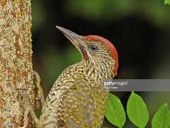 Green Woodpecker juvenile male (Gary Chalker, Thanks for over 3,000,000. views) Tags: greenwoodpecker woodpecker bird pentax k3ii pentaxk3ii pentaxfa600mmf4edif fa600mmf4edif fa600mm 600mm