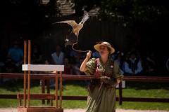 Flight of the Raptor, 130 PM show (Pahz) Tags: flightoftheraptor raptor birdsofprey bird fly feather wing hawk falcon harrishawk lannerfalcon lure luretraining royalfalconer bristolrenaissancefaire brf2018 renaissancefaire renfaire renaissancefairephotographer pattysmithbrf nikond7200 tamron16300mm tamron