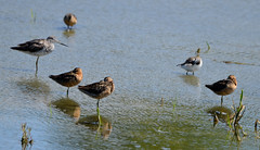 Yellowlegs and Dowitchers and what (glenbodie) Tags: 201829 bodie dncb glen glenbodie reifel