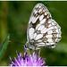 Marbled White Butterfly. (vegetus aer) Tags: woodwaltonmarshwildlife trustbcn wildlife trustcambridgeshirewildlifemarbledwhitemarbled white butterfly sony a77m2 sigma 105mm macro