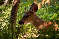 young Island deer (marneejill) Tags: deer buck blacktail closeup face eyes horn vancouver island shadows