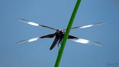 Widow Skimmer IMG_6676 (Jennz World) Tags: ©jennifermlivick mountpleasantnaturepark mountpleasant mtpleasant ontario canada dragonfly damselfly
