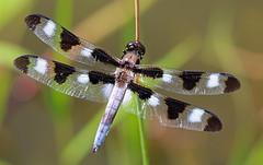 Twelve-spotted Skimmer (TomIrwinDigital) Tags: macro skimmer dragonfly ontario brontecreek provincialpark bug insect pond