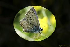 Argus bleu ou Azuré commun (Ezzo33) Tags: argus bleu ou azuré commun france gironde nouvelleaquitaine bordeaux ezzo33 nammour ezzat sony rx10m3 parc jardin papillon papillons butterfly butterflies specanimal