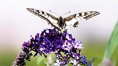 Butterfly - 5605 (ΨᗩSᗰIᘉᗴ HᗴᘉS +20 000 000 thx) Tags: macro nature butterfly insect hensyasmine namur belgium europa aaa namuroise look photo friends be wow yasminehens interest intersting eu fr greatphotographers lanamuroise tellmeastory flickering 7dwf