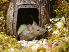 wild house mouse in a log pile house (3) (Simon Dell Photography) Tags: house mouse log pile door coconut mossy moss logs wood stack garden wild wildlife cute funny detail close up awesome viral ears eyes george mini mildred sheffield s12 hackenthorpe decorated summer images mice two mouses animals rodents