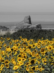 Fields of Gold at Rhossilli 2018 07 26 #3 (Gareth Lovering Photography 5,000,061) Tags: sunflowers flowers rhossili gower swansea walescostalpath wales nationaltrust nationaltrustwales wormshead olympus penf 14150mm garethloveringphotography