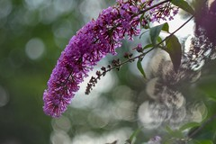 Buddleja davidii (agnieszka.a.morawska) Tags: helios helios44m macro dof bkhq beyondbokeh bokehlicious bokeh summer garden flower budleja buddleja