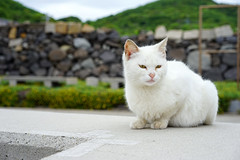Watching the harbour (Eric Flexyourhead) Tags: megijima 女木島 takamatsu takamatsushi 高松市 kagawa kagawaken kagawaprefecture 香川県 japan 日本 town village fishingvillage detail fragment cat chat katze kat katt gatto neko 猫 nekochan 猫ちゃん cute kawaii かわいい straycat noraneko shallowdepthoffield sonyalphaa7 zeisssonnartfe55mmf18za zeiss 55mmf18