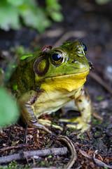Monsieur grenouille (Bloui) Tags: 2018 botanicalgarden eos7d jardinbotanique june marais summer montréal québec amphibian animal frog greenfrog grenouille grenouilleverte lithobatesclamitans green