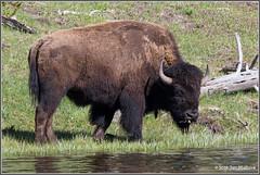 Down by the Riverside 9263 (maguire33@verizon.net) Tags: bison fireholeriver yellowstone yellowstonenationalpark springtime wildlife wyoming unitedstates us