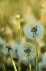 Golden nature (Wilamoyo) Tags: dandelionseedheads nature close bokeh blur botany beauty fluffy flower stem