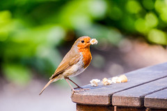 Having the Cake and Eating It (Elaine 55.) Tags: photohopexpress robin birds bodnantgardens nationatrust dof
