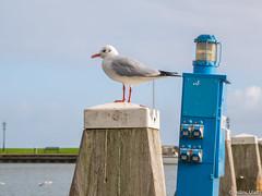 Seagull (✦ Erdinc Ulas Photography ✦) Tags: bird seagull wood water blue sky cloud focus animal netherlands nederland dutch holland grass lake vogel pole coast bay harbour light panasonic