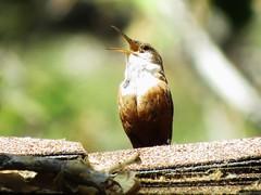 Canyon Wren - Temescal Cyn (weezerbee9) Tags: