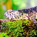 Chinese Crocodile Lizard (Shinisaurus crocodilurus) of Ueno Zoo, Tokyo : チュウゴクワニトカゲ(上野動物園・両生爬虫類館)