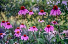 (kderricotte) Tags: echinacea flower plant outdoor sony sonya7ii ilce7m2 helios helios44m458mmf2 bokeh depthoffield vintagelens