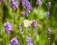 Brimstone (Gonepteryx rhamni ) (Adam Swaine) Tags: summer wildlife flora flowers insects butterfly lavender flower naturelovers nature england english britain british canon beautiful uk londonparks naturesfinest macro colours