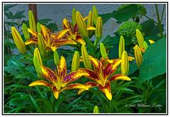 Nature - Flowers - A Splendid Display of Lilies. (Bill E2011) Tags: nature flowers lily lilliim beauty buds colour color canon spectacle