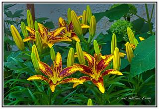 Nature - Flowers - A Splendid Display of Lilies.