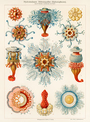 Hydromedusen: Röhrenquallen (Siphonophoren), translated Tube Jellyfish, from The Meyers Großes Konversations-Lexikon (1905). Digitally enhanced from our own original plate. (Free Public Domain Illustrations by rawpixel) Tags: otherkeywords tags animal antique aquatic art cc0 chromolithograph color colorful coral coralreef danger deep exotic fish hydromedusa hydromedusen illustrated illustration jelly jellyfish life lithograph marine old plate print publicdomain retro rohrenquallen rã¶hrenquallen seaanemone siphonophoren species structure texture themeyersgroãeskonversationslexikon tropical tube underwater vintage water zoology pdoriginal pdplate pdproject35 pdproject35batch1 pdproject35batch1board pdproject35batch1x pdproject35board pdproject35x röhrenquallen themeyersgroseskonversationslexikon