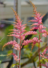 Helmsley Walled Garden (alh1) Tags: helmsleywalledgarden england yorkshire ryedale astilbe