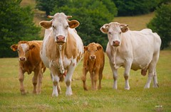 P2000309 (Denis-07) Tags: vache animal veau boeuf