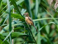 Bearded Tit (Juv) 14-07-2018-1660 (seandarcy2) Tags: tit bearded reedling fenland reedbed birds wildlife ham wall somerset uk