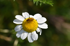 Flora y fauna (esta_ahi) Tags: olèrdola coleoptera insectos fauna margarita compositae asteraceae flor flora flores silvestres penedès barcelona españa spain испания