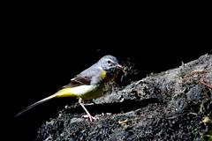 bergeronnette es ruisseaux ( Motacilla cinerea ) Brech 180620a2 (papé alain) Tags: oiseaux passereaux motacillidés bergeronnettedesruisseaux motacillacinerea greywagtail brech bretagne france