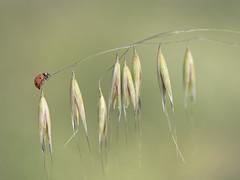 L'équilibriste **---+°---° (Titole) Tags: ladybug ladybird folleavoine wildoat shallowdof titole nicolefaton thechallengefactory 15challengeswinner