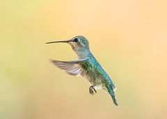 Summer Hummingbird (Amazing Aperture Photography) Tags: hummingbird bird aviary fly hover fast quick wings feathers beak tiny small animal nature wildlife depthoffield outside green cute nikon nikond800 tamron tucson arizona southwest upclose closeup