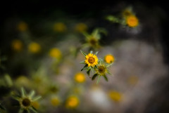 _DSC2774.jpg (judy dean) Tags: judydean 2018 france yellow lensbaby wildflower summer holiday