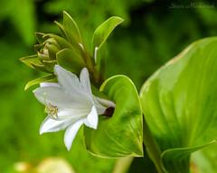 South Carolina Botanical Garden_1089 (smack53) Tags: smack53 clemson clemsoncollege southcarolina southcarolinabotanicalgarden flowrs plants blossoms bokeh summer summertime nikon d3100 nikond3100 flowers