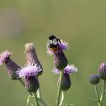 Bee and creeping thistle (Cirsium arvense) - Culm River, Cullompton, Devon - 13 July 2018 thumbnail