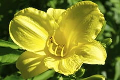 Daylily (pecooper98362) Tags: vestal newyork morning summer flower lily daylily tigerlily