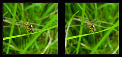 Hoverfly Hanky Panky 1 - Parallel 3D (DarkOnus) Tags: hoverfly hanky panky pennsylvania buckscounty panasonic lumix dmcfz35 3d stereogram stereography stereo darkonus closeup macro insect insecthumpday hump day wednesday sex mating humping coitus coupling hihd ihd parallel