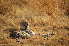 Cheetah Relaxing In The Savannah (pbmultimedia5) Tags: big cat cheetah relaxing golden grass serengeti national park africa nature wildlife pbmultimedia summer savannah
