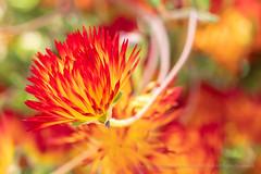 Drosanthemum bicolor (I), 5.8.18