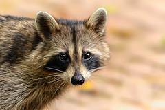 Staring Contest (Goromo) Tags: raccoon animal evening bandit eyecontact furry mask stare